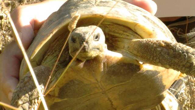 Alliberen 52 tortugues mediterrànies a les Garrigues