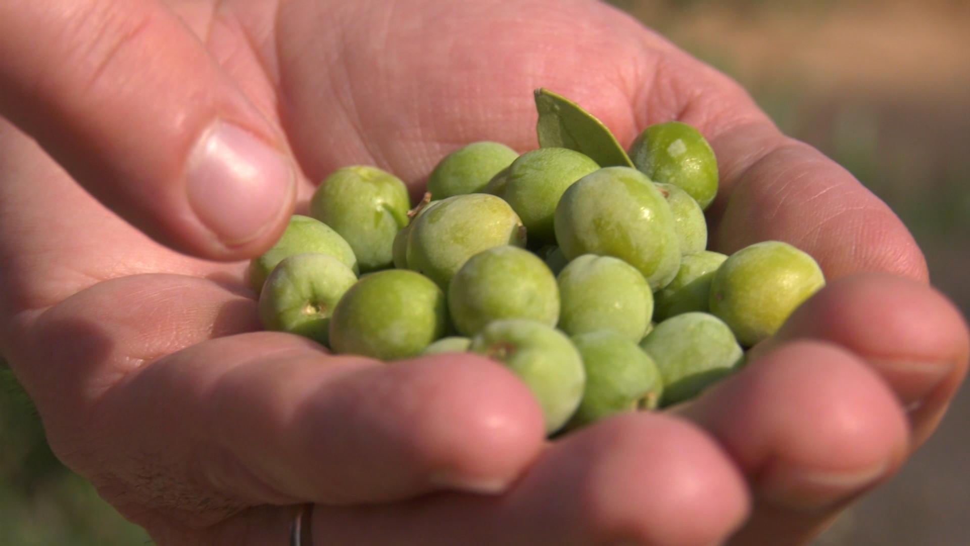 Grup Pons avança la collita d'olives per treure un oli verd gourmet d'alta gama 100% Arbequina