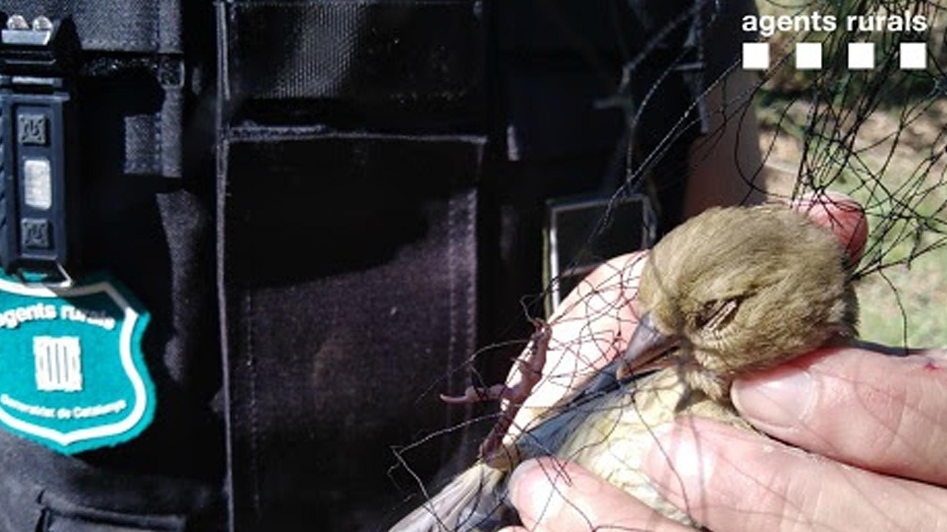 """El Cos d'Agents Rurals enxampa """"in fraganti"""" una persona que capturava aus amb arts de caça prohibides a les Garrigues"""